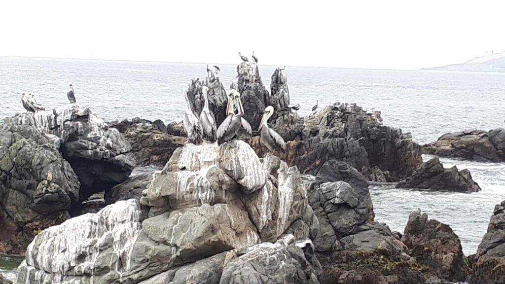 Pássaros Viña del Mar
